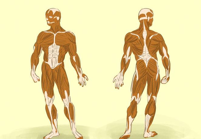 Muscle entraînement musculaire